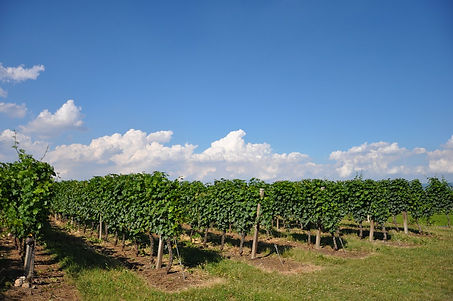 canoso vineyards.jpg