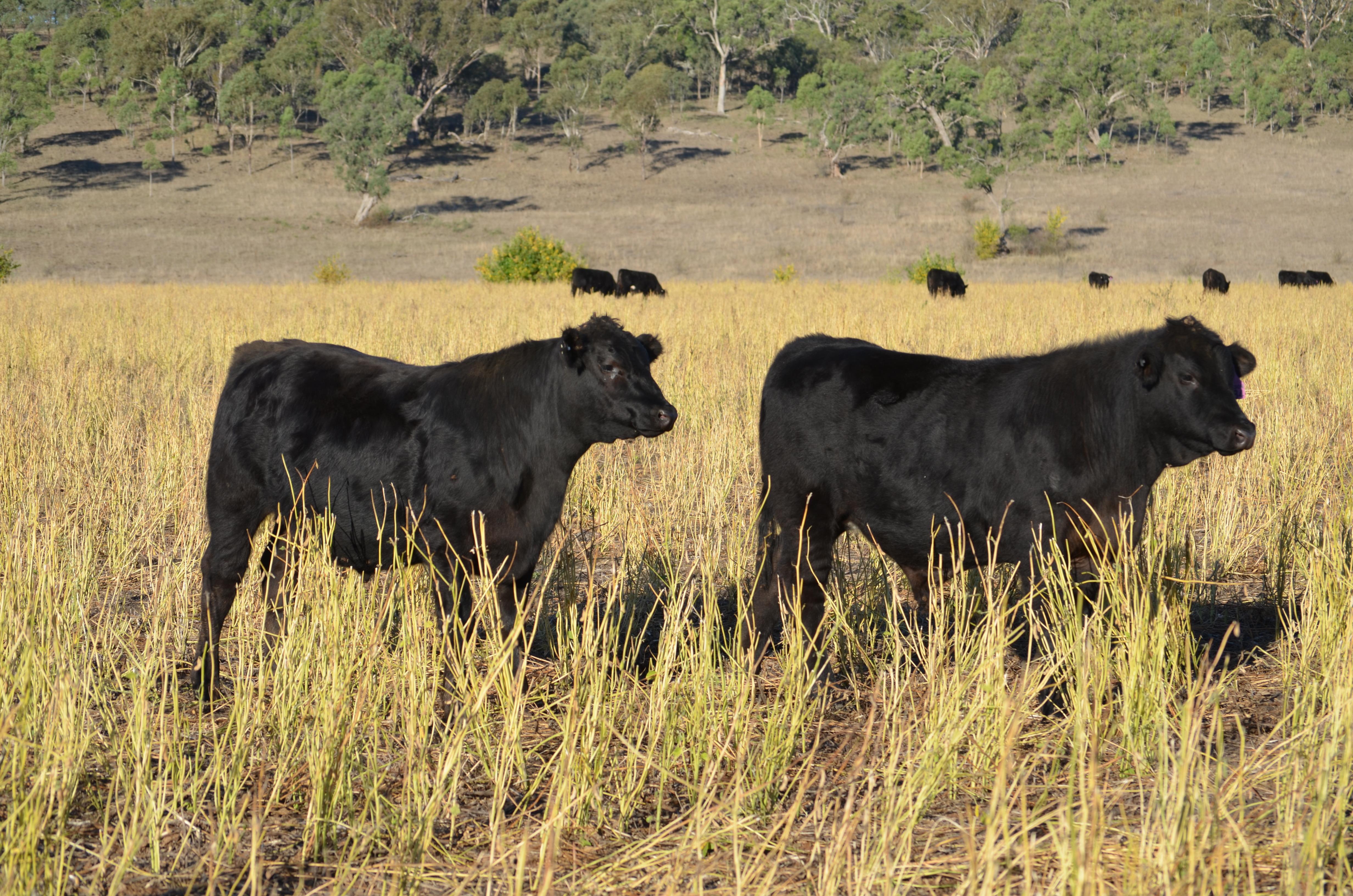 Angus/Brangus Steers