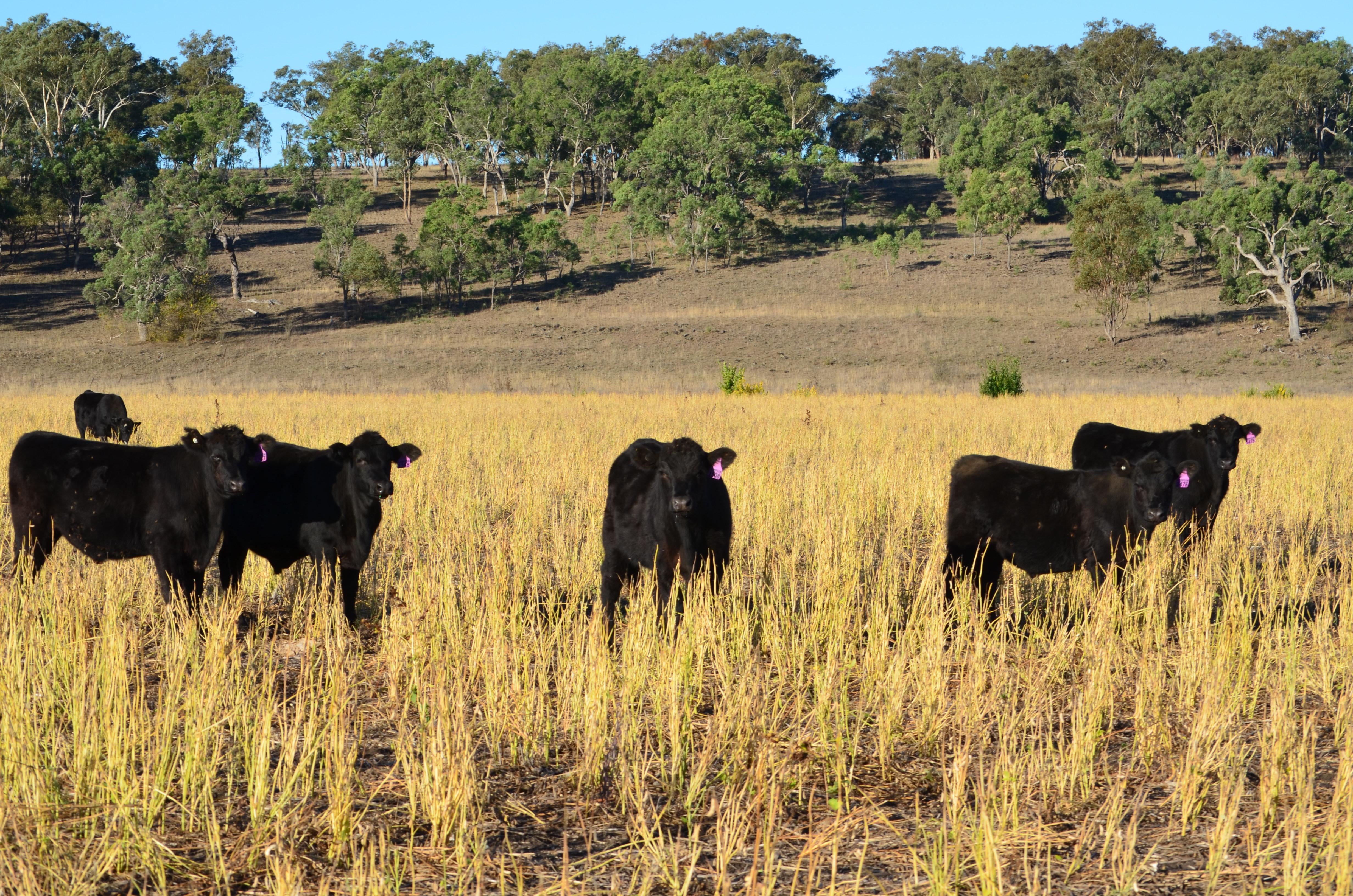 Steers Grazing