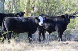 Crossbred Steers
