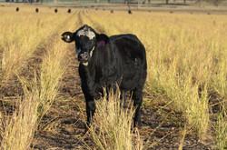 Angus/Brangus/Hereford Steer