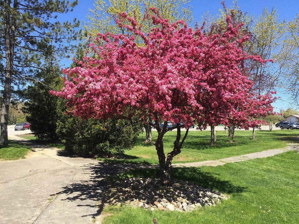 2016 - Locker Room Cherry Tree.jpg