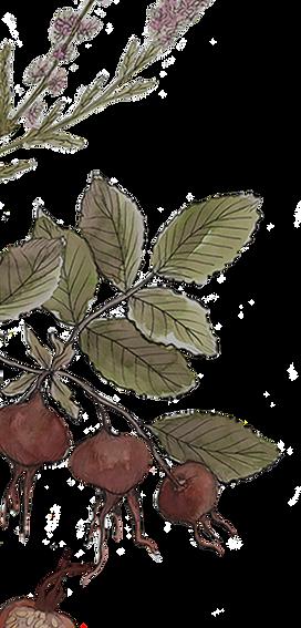 Mikkelmas Botanicals 2_edited_edited.png