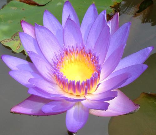 Lotus flower fragrance oil spray or diffuser 1oz lotus flower fragrance oil spray 1 oz mightylinksfo