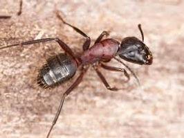 Carpenter Ants 1.jpeg