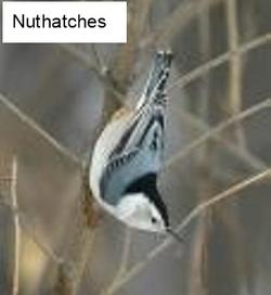 Nuthatche