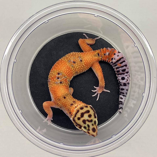 Blood Mandarin cross ph Raptor (Tremper/Eclipse)