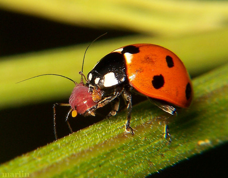 Ladybugs are predators to aphids and other pests