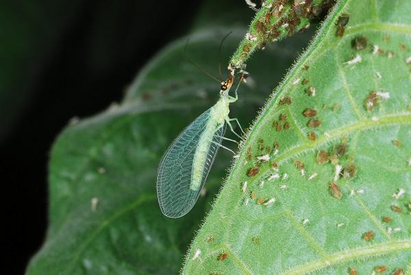 Lacewings are predators for aphis and other pests