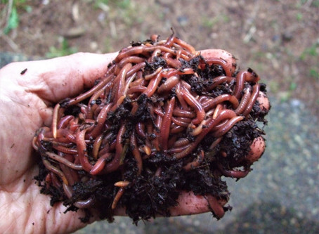Everything You Need to Know about Vermiculture!