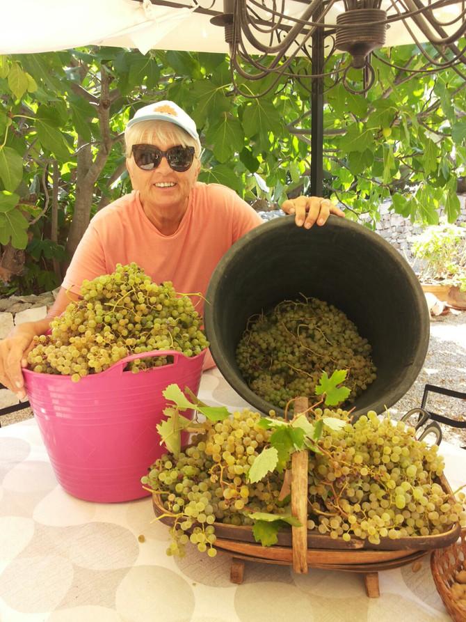 Grape harvest time!