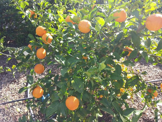 Masseria Due Torri Gardens in January