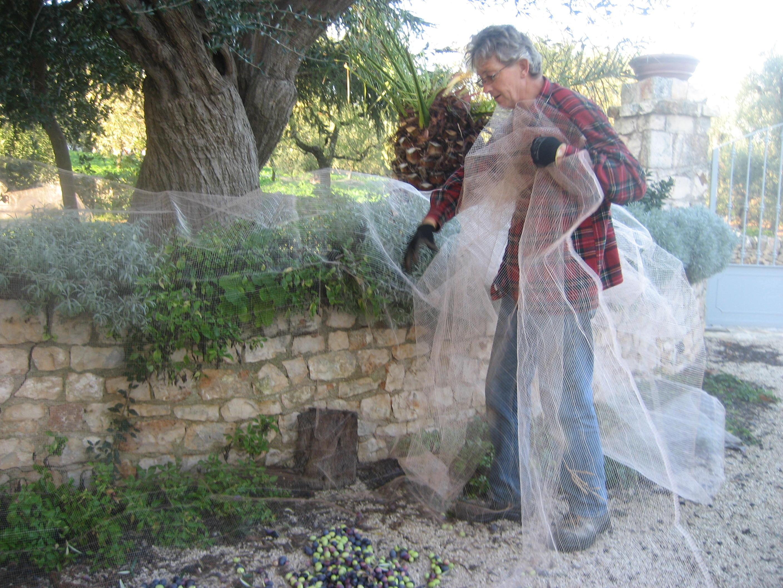 Olive Harvest & Dry Stone