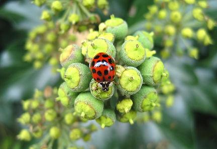 asian-ladybug-1750665_1920.jpg