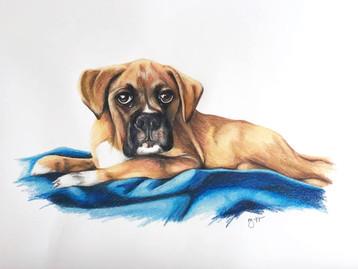 Boxer Puppy - Coloured Pencil