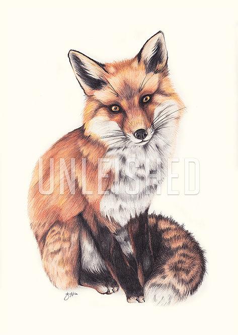 Curious Fox pencil illustration print (A3)