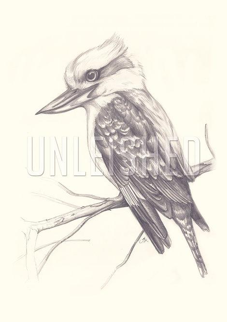Kookaburra lead pencil illustration print (A3)