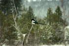Magpie 02-24-2012 Spokane River
