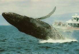 Humpback Whales 01 - Monterey Bay, CA 2005