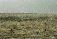Canada Geese 03-20-2012 Liberty Lake Park