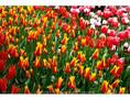 Tulips - Skagit River Plain 07 - Spring 2013