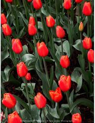 Tulips - Skagit River Plain - Spring 2013