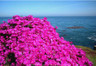 Ice Plant - Pacific Grove-  March 2005.jpg