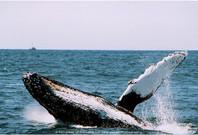 Humpback Whales 04 - Monterey Bay, CA 2005.jpg