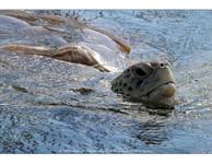 Sea Turtle  - Grand Cayman - December 2012