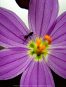 Grass Widow & Ant  04-16-2012