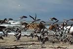 Seagulls -Point Pinos  Pacific Grove, CA 2004.jpg