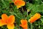 California Poppies - Big Sur -Garrapata State Park