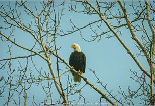 Bald Eagle 02-21-2012-Spokane-River