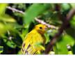 Yellow Finch - Grand Cayman - December 2012