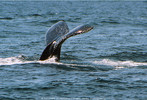 Humpback Whales 02 - Monterey Bay, CA 2005