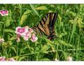 Stehekin- Swallowtail Butterfly - Lake Chelan, WA June 2016.jpg