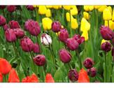 Tulips - Skagit River Spring 2013
