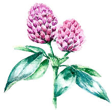 watercolor-clover-herb-hand-drawn-botanical-illustration-plant-drawing-white-background-me
