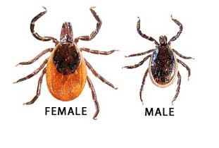 Deer tick a.k.a. black-legged tick