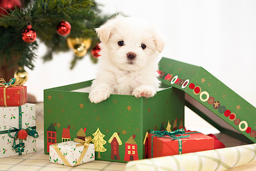 Puppy in a present box