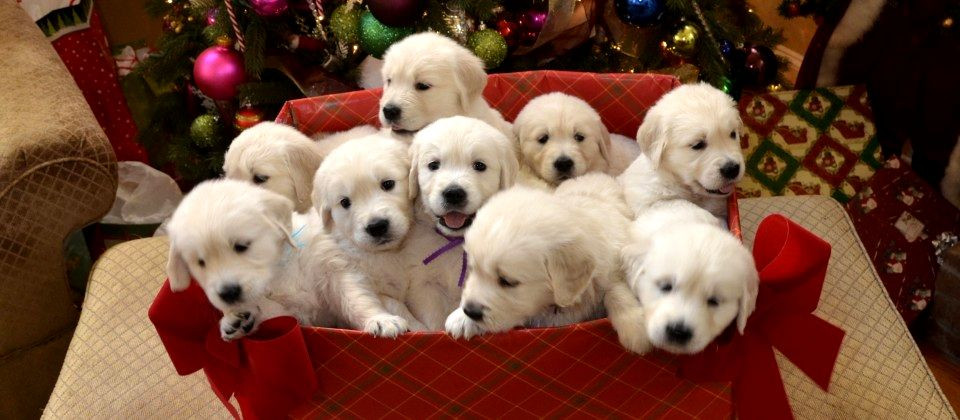 Golden Retriever Puppies in a gift box