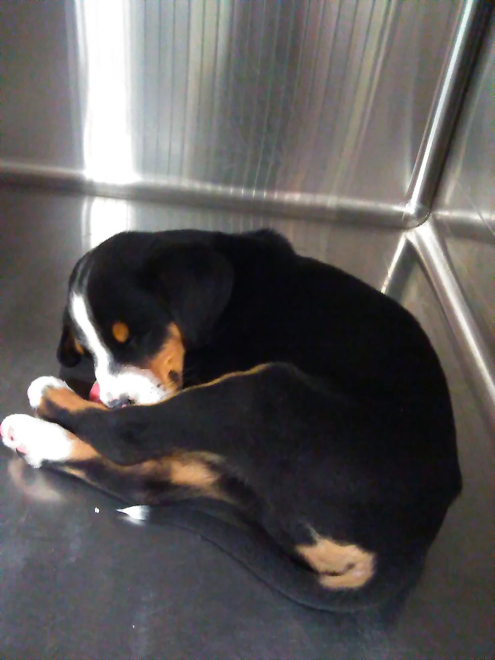 Louie - puppy
