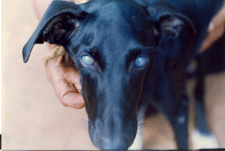 """Corneal edema or """"Blue eye"""" in a dog"""