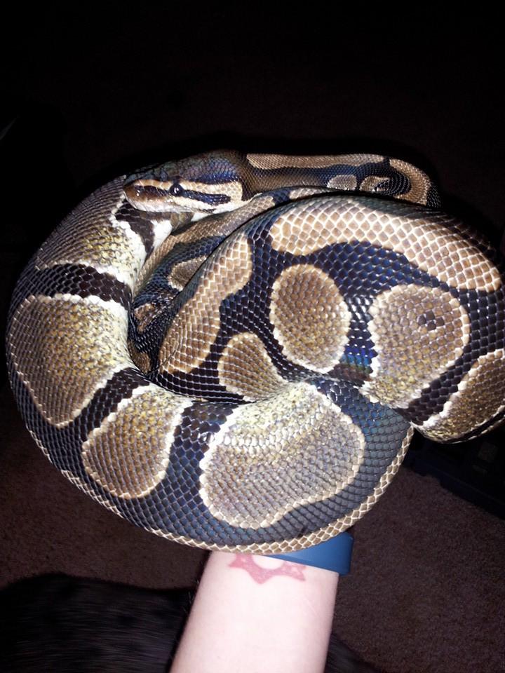 Isabella, the Ball Python