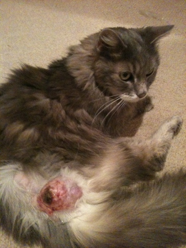 Cat with injection site sarcoma