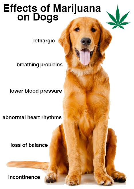 Marijuana effects on dogs
