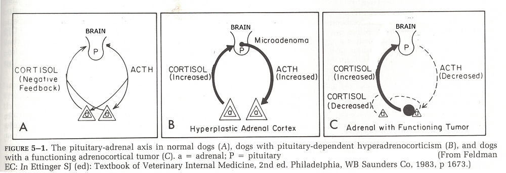diagram of how the pituitary-adrenal axis works in normal dogs, dogs with pituitary-dependent hyperadrenocorticism, and dogs with a functioning adrenocortical tumor