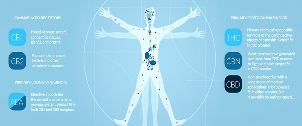 Cannabinoid Receptors in the body