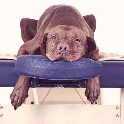 Dog laying on a massage table