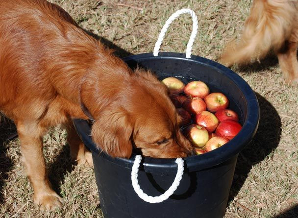 Dogs bobbing for apples